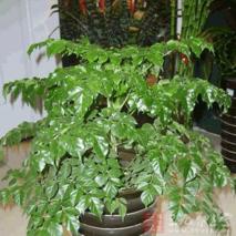 菜豆树的功效与作用