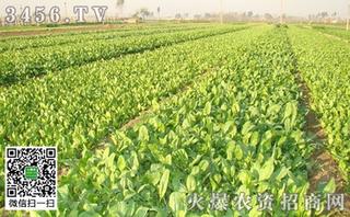 麦垄菠菜种植方法