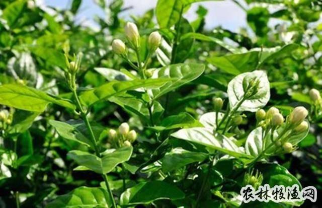 茉莉怎么种植?茉莉树的种植方法