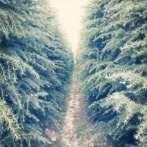 一亩大约种植多少雪松