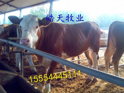 肉牛复壮注意精粗料配比