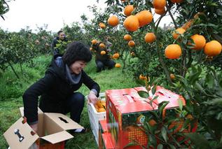 创新产学研合作促中国柑桔产业提质增效