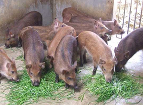 猪的常用饲料——糟渣类饲料