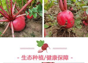 红皮白心大萝卜的功效与作用
