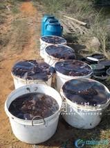 虾池混养花蛤技术