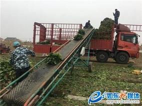 如东丰润蔬菜专业合作社采摘第二批春季大耳菠菜