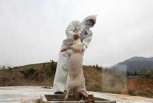 如皋东串猪