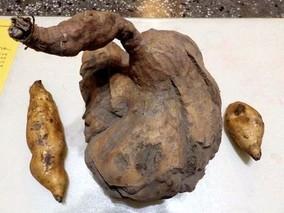 北京甘薯总产量超3240万公斤