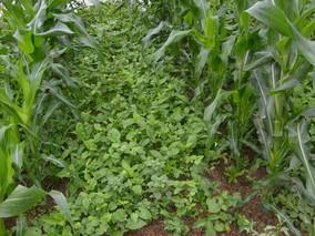 旱半夏的种植方法