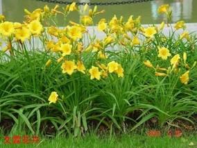 金娃娃萱草有种子吗?金娃娃萱草什么时候种植?