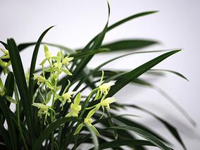 无锡市兰花展4月上旬开幕