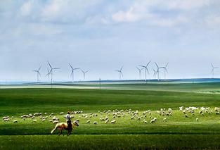 达茂草原羊