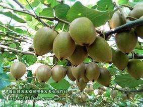湖南邵阳隆回猕猴桃新品种助农增收