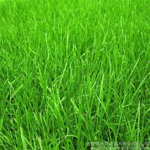 怎么选草坪种子?草坪种子有哪几种?