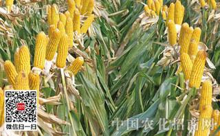 夏玉米施肥巧产量增