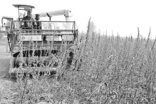 中国农科院油料所破解芝麻生产机械化难题
