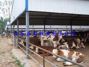 饲喂磷酸脲 牛羊奶水多