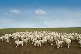 阿尔巴斯型绒山羊