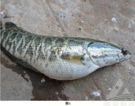 黑鱼腹水病的治疗及注意事项