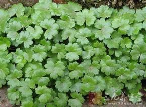 豆科植物广金钱草的栽培及加工方法