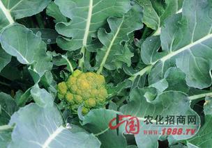 花椰菜科学培育壮苗管理技巧