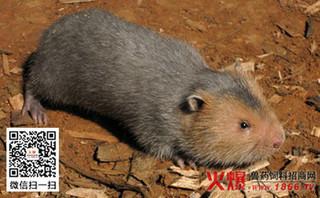 竹鼠养殖常见疾病 肠胃炎怎么治疗