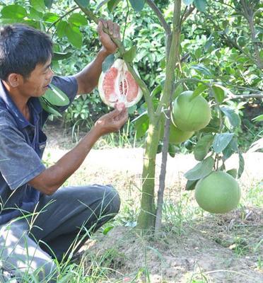 红肉蜜柚种植要点(小苗种植)