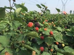 树莓产地在中国哪里?树莓适合在哪里种植?