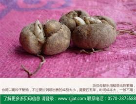 浙贝母的需肥特性及施肥技术
