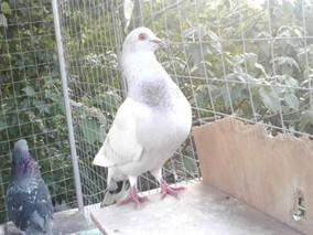 鸽子的繁育