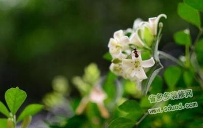 九里香什么时候开花?九里香的养殖方法