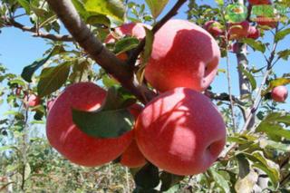 现在苹果价格多少钱一斤?苹果价格为何下跌了?