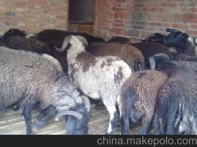 """象山:乌骨羊变成""""致富羊"""""""