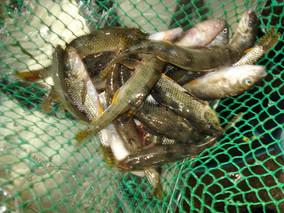 常州市场鲢鱼价格波动较大 虾价持续上扬