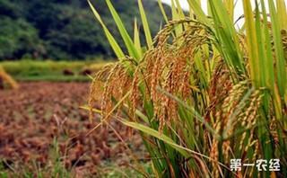 广西出台稻谷目标价格补贴实施方案