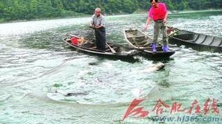 黄山太平湖鲢鳙鱼热销价扬