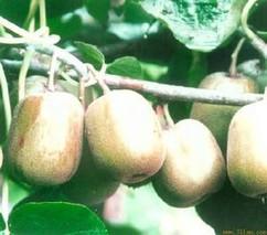 猕猴桃藤中汁的功效与作用