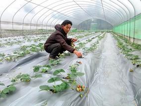 重庆武隆:草莓销售不出棚