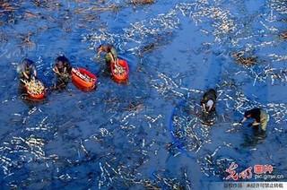 山东:废弃坑塘种莲藕 村集体年增收十万元