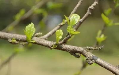 树木下端冒小芽竟是大隐患