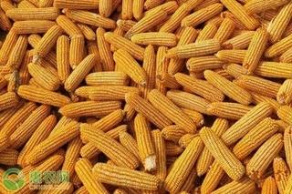 玉米价格创历史新高是怎么回事?玉米价格会持续暴涨吗?