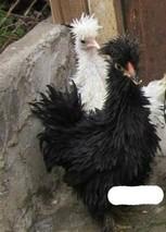 丝光鸡的饲养特点