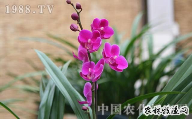 蝴蝶兰节能式栽培技术
