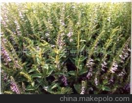中药材半枝莲人工栽培的种苗培育方法