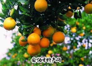 衢州常山胡柚
