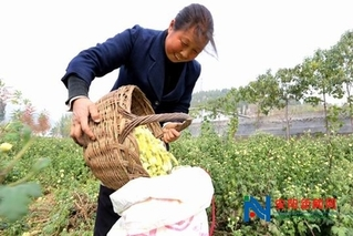 河南省有关专家学者到林州茶店镇菊花基地指导