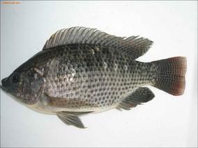罗非鱼实行不同级不同价