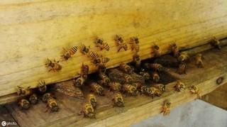 蜜蜂减少影响35%世界作物产量 威胁粮食安全人类健康