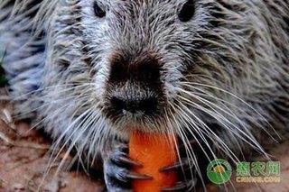 海狸鼠呼吸系统疾病的防治