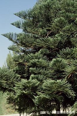 异叶南洋杉怎么修剪?南洋杉的养殖方法与注意事项